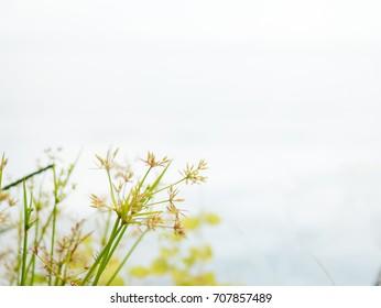weed Cyperus blooming background.