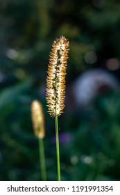 A weed gone to seed in fall. The seeds are visible down the centre of the tail like head waiting for wind to blow them away.
