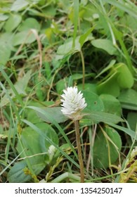 weed grass flower. Can be used as a medicine for skin diseases such as phlegm, ringworm, and wounds that have not healed.