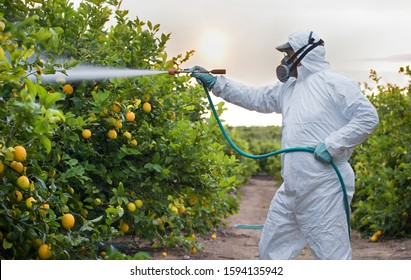 Weed insecticide fumigation. Organic ecological agriculture. Spray pesticides, pesticide on fruit lemon in growing agricultural plantation, spain. Man spraying or fumigating pesti, pest control