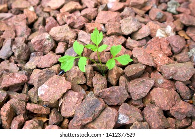Weed on a gravel drive, green weed with leaves on red gravel on a driveway or gravel path with various sized stones and small weed in a central position.