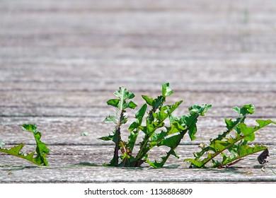 weed plant on wood