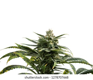 Weed Plant White Background Isolated with Crystal Buds and Leaves