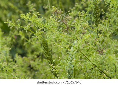 weed plants Galium aparine at wheat field