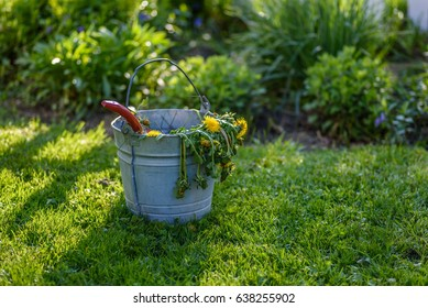 weeding garden with metal pail or bucket of dead dandelions hanging over side