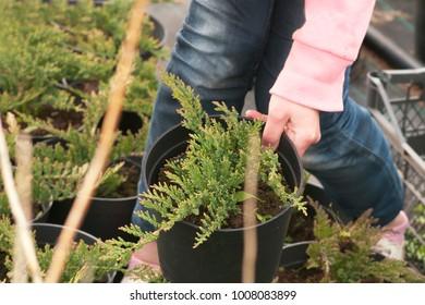 Weeding weeds in the nursery of coniferous plants, a woman in garden gloves working in the garden