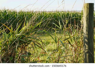 Weeds growing along the fence of a farmland. Cornfield and blue sky.