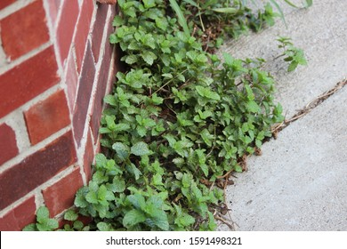 Weeds Growing In Grass. Unwanted weeds in the lawn.  Broad leaf weeds growing through concrete crack