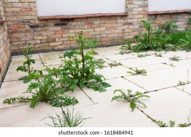 weeds growing on paved patio area