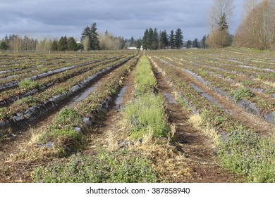 Weeds have taken over an agricultural crop left fallow for the year/Fallow Agricultural Land/Weeds have taken over an agricultural crop left fallow for the year.