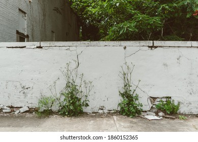 Weeds and vines growing up an old white wall