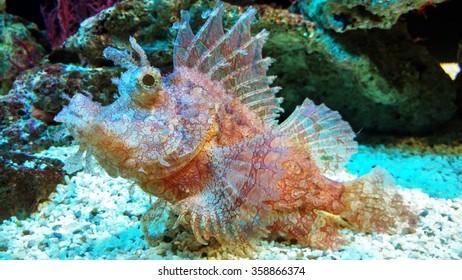 Weedy Scorpianfish