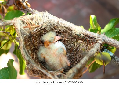 Week old baby Black headed Oriole on the nest with an  unhatched egg