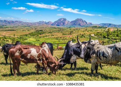 Weekly zebu market in Ambalavao in the the Central Highlands of Madagascar, near the city of Fianarantsoa. It is the largest zebu market in the country. Bara herders sell their cattle from far away.
