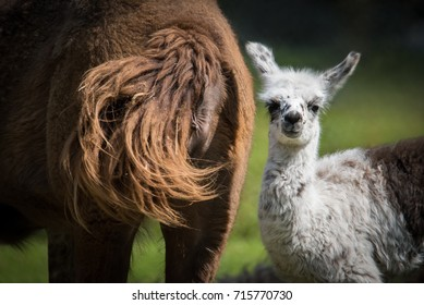 A week-old baby llama at Toronto's High Park Zoo.