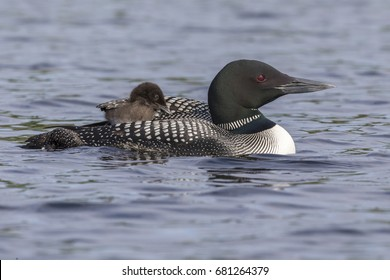 A week-old Common Loon chick (Gavia immer) is partially tucked under its mother's wing while riding on its mother's back - Ontario, Canada