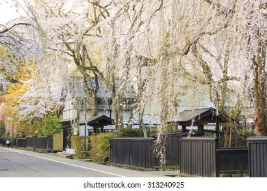 Weeping Cherries of Kakunodateâ??s Samurai District, Akita, Japan