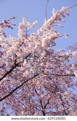 Weeping Cherry Blossom Osaka Japan Stock Photo Edit Now 629528081