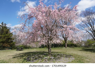 Weeping cherry blossoms blooming in spring sunny weather