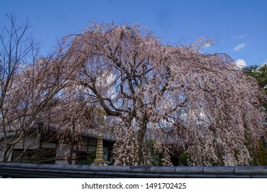Weeping cherry blossoms at Honmanji Temple in Kyoto
