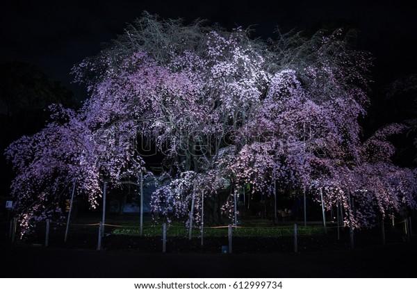東京・陸義園(2017年4月1日)夜に点灯する桜