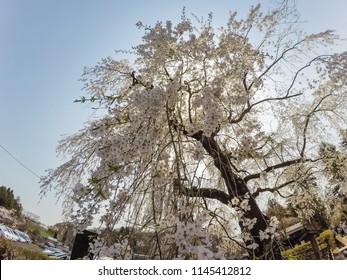 Weeping cherry blossoms(shidarezakura) at Samurai District of Kakunodate,Akita,Tohoku,Japan.