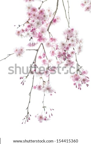 Weeping Cherry Tree Stock Photo Edit Now 154415360 Shutterstock