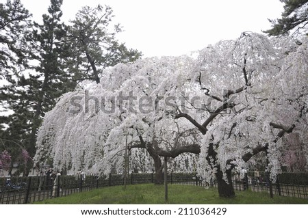 Weeping Cherry Tree Stock Photo Edit Now 211036429 Shutterstock