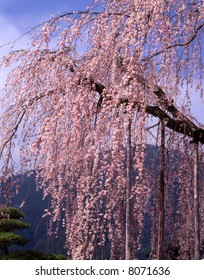 A weeping cherry tree in full blossom