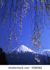 A weeping cherry tree in full blossom and Mt,Fuji