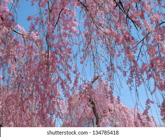 Weeping Cherry Tree full of fresh new flowers with a gorgeous blue spring sky