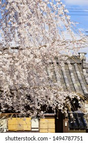Weeping cherry tree and the gate in Kyoto Jyobonrendaiji