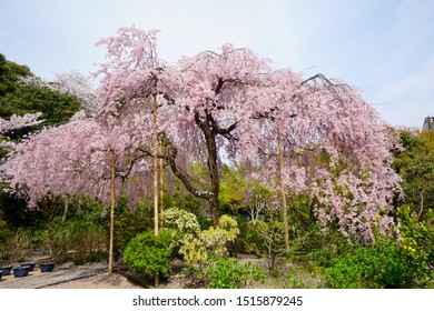 Weeping cherry tree in Kyoto Hou-Kongou-in