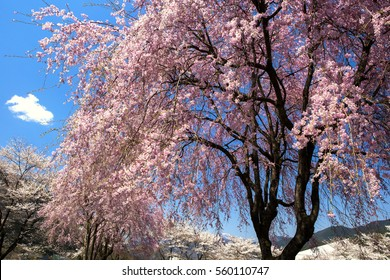 Weeping cherry tree of pink and white cherry blossoms