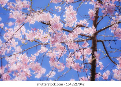 Weeping cherry tree and sunny blue sky