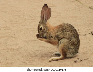 A Weeping Cottontail Rabbit