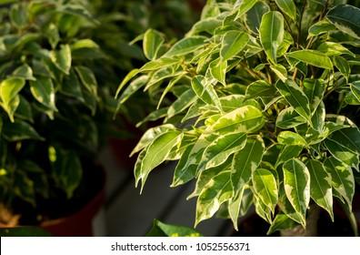Weeping fig's bright leaves(Ficus benjamina)