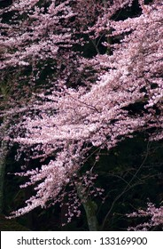 Weeping flowering cherry blossom branch