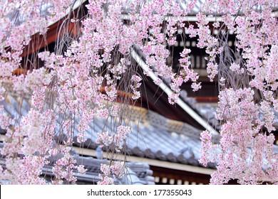 Weeping sakura tree with japanese temple