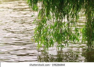 Weeping willow dipped in water