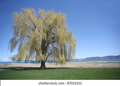 Weeping willow at a lake in springtime, USA