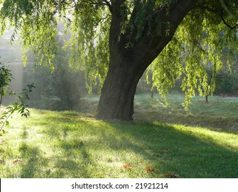 Weeping willow in the morning sunlight