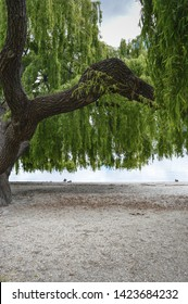 Weeping willow on the shore of Lake Wanaka, New Zealand.