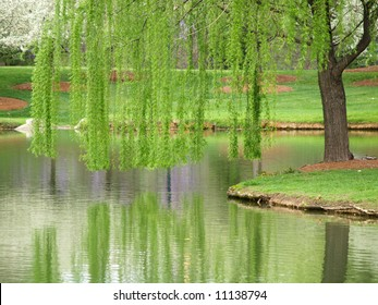 A weeping willow reflected in a nicely manicured garden pond in the springtime. Blooming cherry trees and bradford pears in the background.