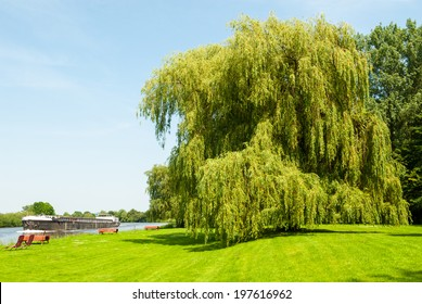 Weeping willow at the riverside in summer