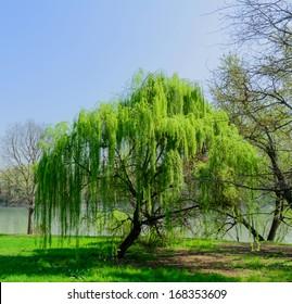 Weeping Willow - Salix babylonica