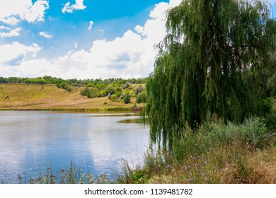 Weeping willow tree or Babylon willow (Salix Babylonica) on a lakeshore