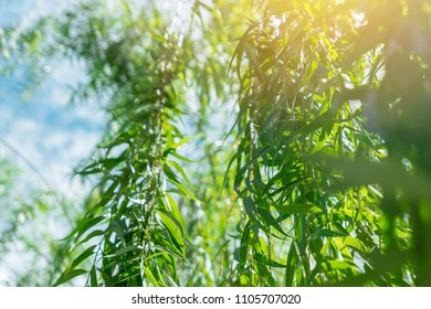 Weeping willow Tree with blue sky wind beautiful green environment nature