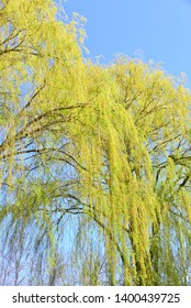 Weeping Willow tree branches with blue sky background in spring with early yellow green foilage.