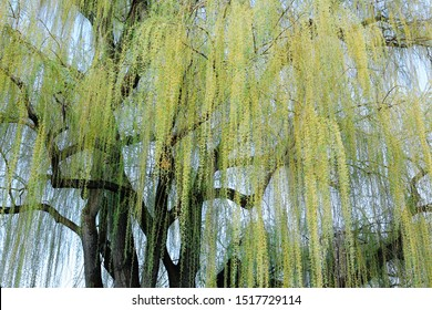 Weeping willow tree branches shown from beneath.